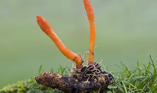 Cordyceps 'Miracle' Mushroom Fights Cancer & Diabetes